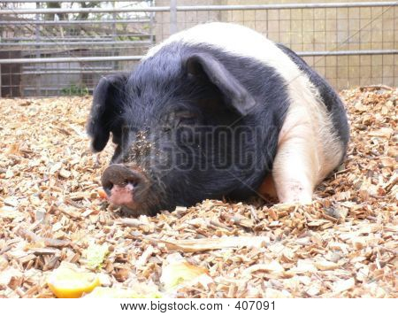Saddle Bottom Pig
