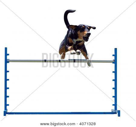 Agility Dog Over A Jump