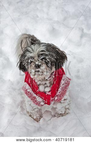 shih-tzu in the snow