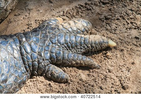 Crocodile Claws Close Up