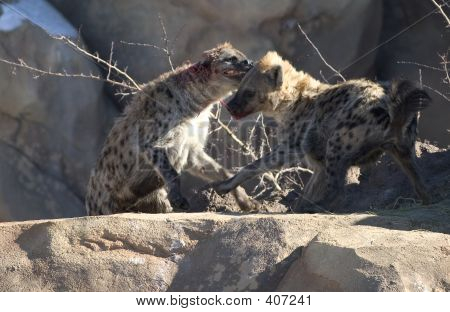 Fighting Hyenas