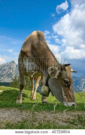 Grazing Cow in the Alps