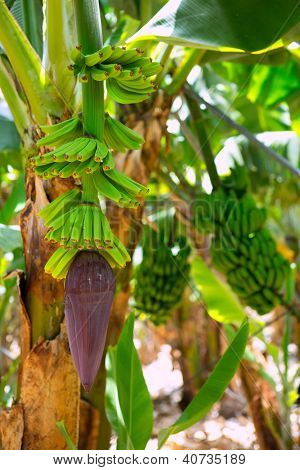 Canarian Banana plantation Platano in La Palma Canary Islands