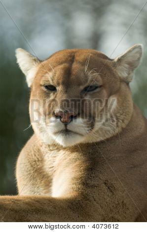 Cougar / Puma / Berglöwe