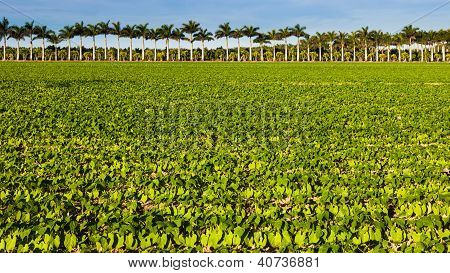 Vegetable Field In Florida