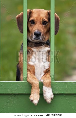 Curious beagle dog