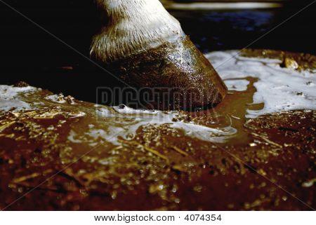 Horse Hoof