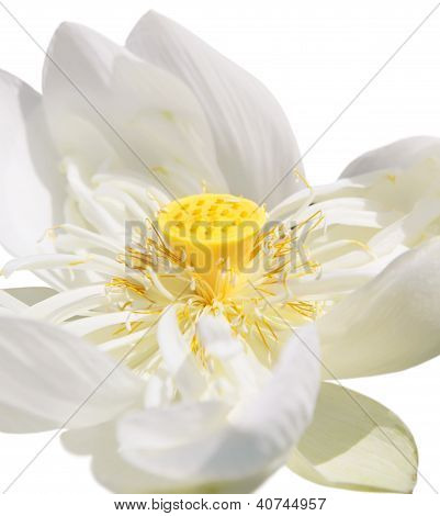 Lotus. Close up