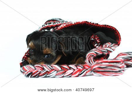 Yorkshire Terrier Puppy Inside A Cap