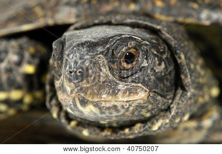 Turtle tortoise terrapin eye macro