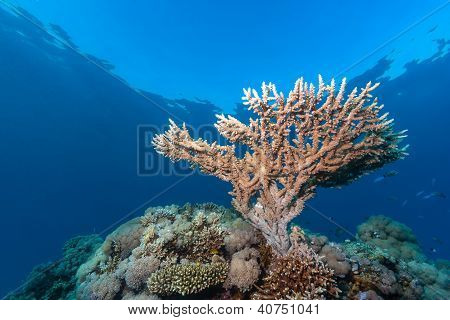 Table Coral Growing Towards The Surface