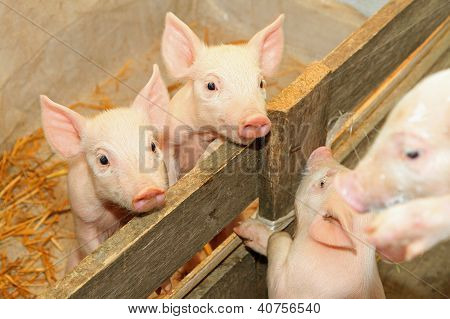 Piglets In Pen