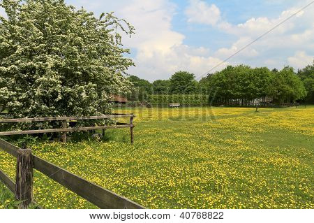 Sheep Lying Under A Blossom Tree