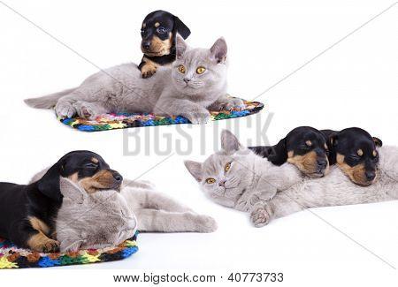 British kitten and  dachshund puppies