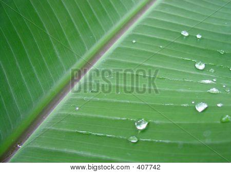Pflanze Bananenblatt mit dem tau Tropfen