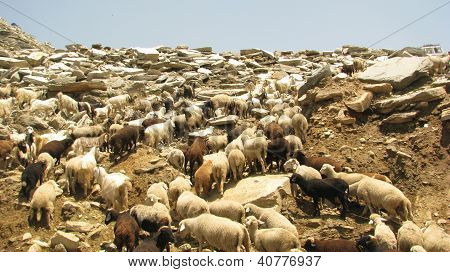 Mountain Sheeps