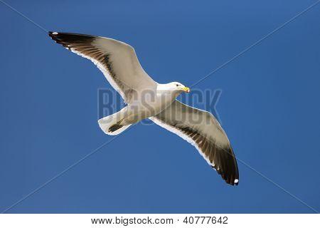 Seagull (Kelp gull)  in flight against blue sky (Larus dominicanus)