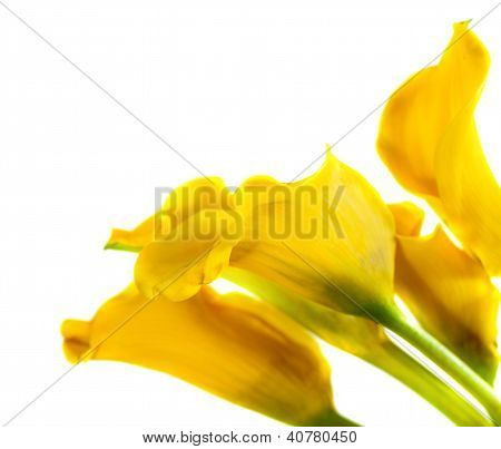 Bunch Of Yellow Cala Lilies