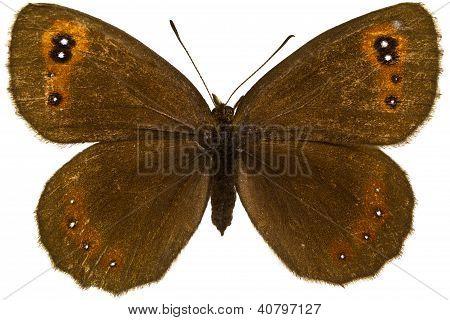 Erebia Aethiops (scotch Argus)