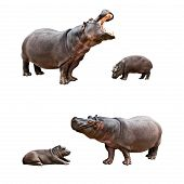 stock photo of behemoth  - Two pairs of family hippos and babes with different emotions - JPG