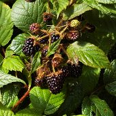 pic of groping  - grope of Big dark Blackberries on a bush - JPG