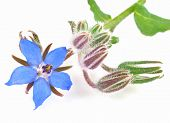 image of borage  - Blue Borage or starflower plant - JPG