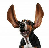 stock photo of basset hound  - a basset hound with long flapping ears - JPG