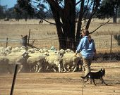 foto of mustering  - rounding up sheep - JPG