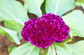pic of celosia  - Cockscomb flower or Celosia argentea Linn in garden - JPG