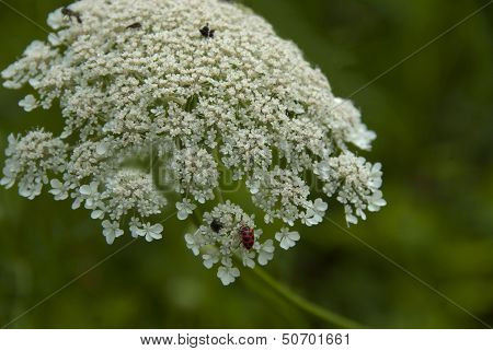 Ladybug on a Wildflower