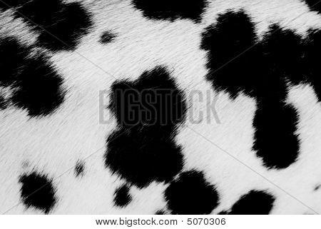 Dalmatian Background.