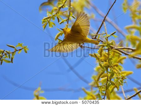 Yellow Warbler Flying