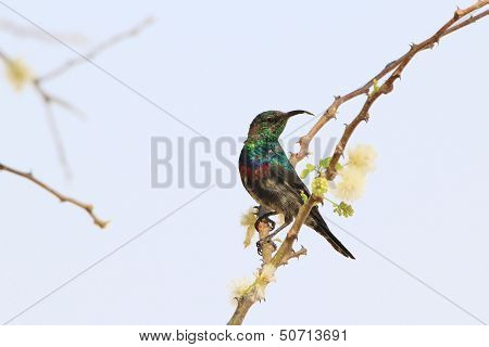 Marico Sunbird - Wild Bird Background from Africa - Spring blossoms and Green plumage