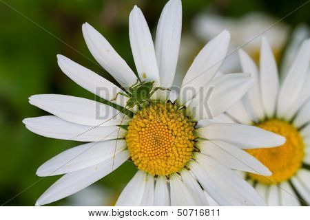 Speckled Bush Cricket Nymph On A Daisy