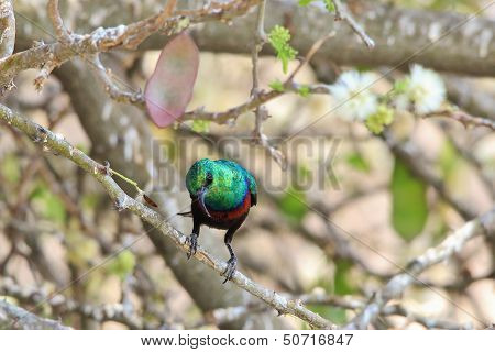 Marico Sunbird - Wild Bird Background from Africa - Greens of Emerald and Beautiful Plumage
