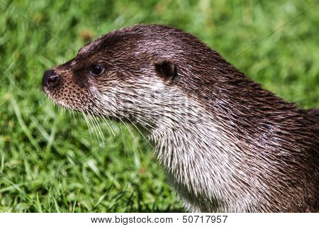 European Otter Head