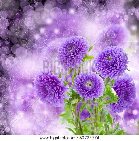 violet  aster flowers on bokeh background