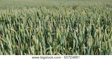 green spikes in field