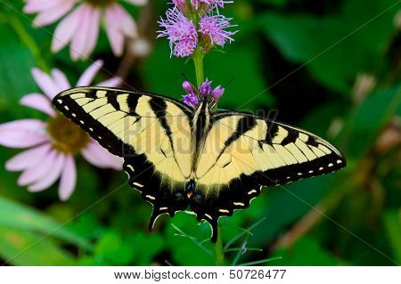 Beautiful Eastern Tiger Swallowtail Butterfly (papilio Glaucus) In Garden.
