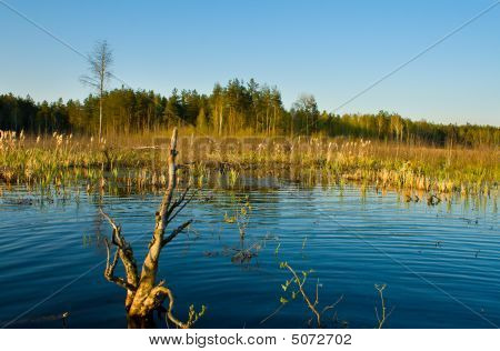 Rushy Swamp In Forest Landscape