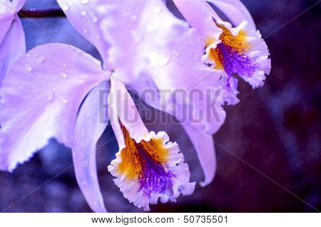 Blossom Orchid