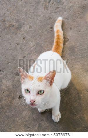 Thai Cat