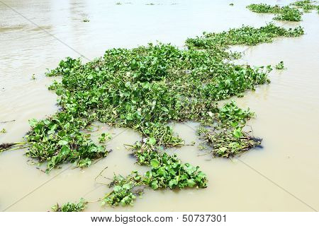 Water Hyacinth In River