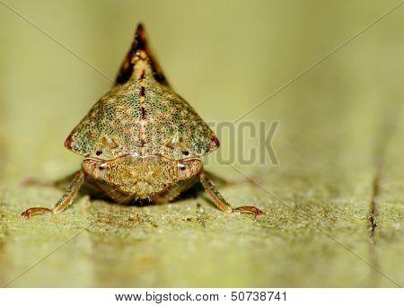 A Leaf-hopper