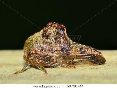 Leaf-hopper