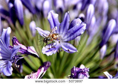 Bee Leaving Agapanthus Flower
