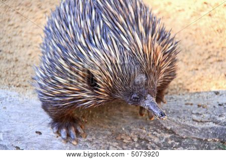 Echidna - Native Australian Animal