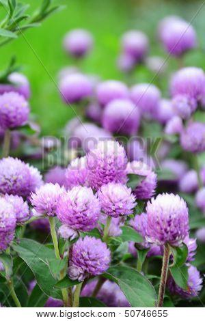 Lavender Globe Amaranth - Gomphrena Globosa