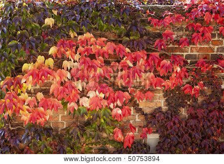 Autumn Color With Ivy On Wall
