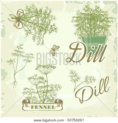 fennel, dill, herb